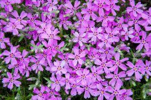 ガーデン用品屋さんの花図鑑 フロックス