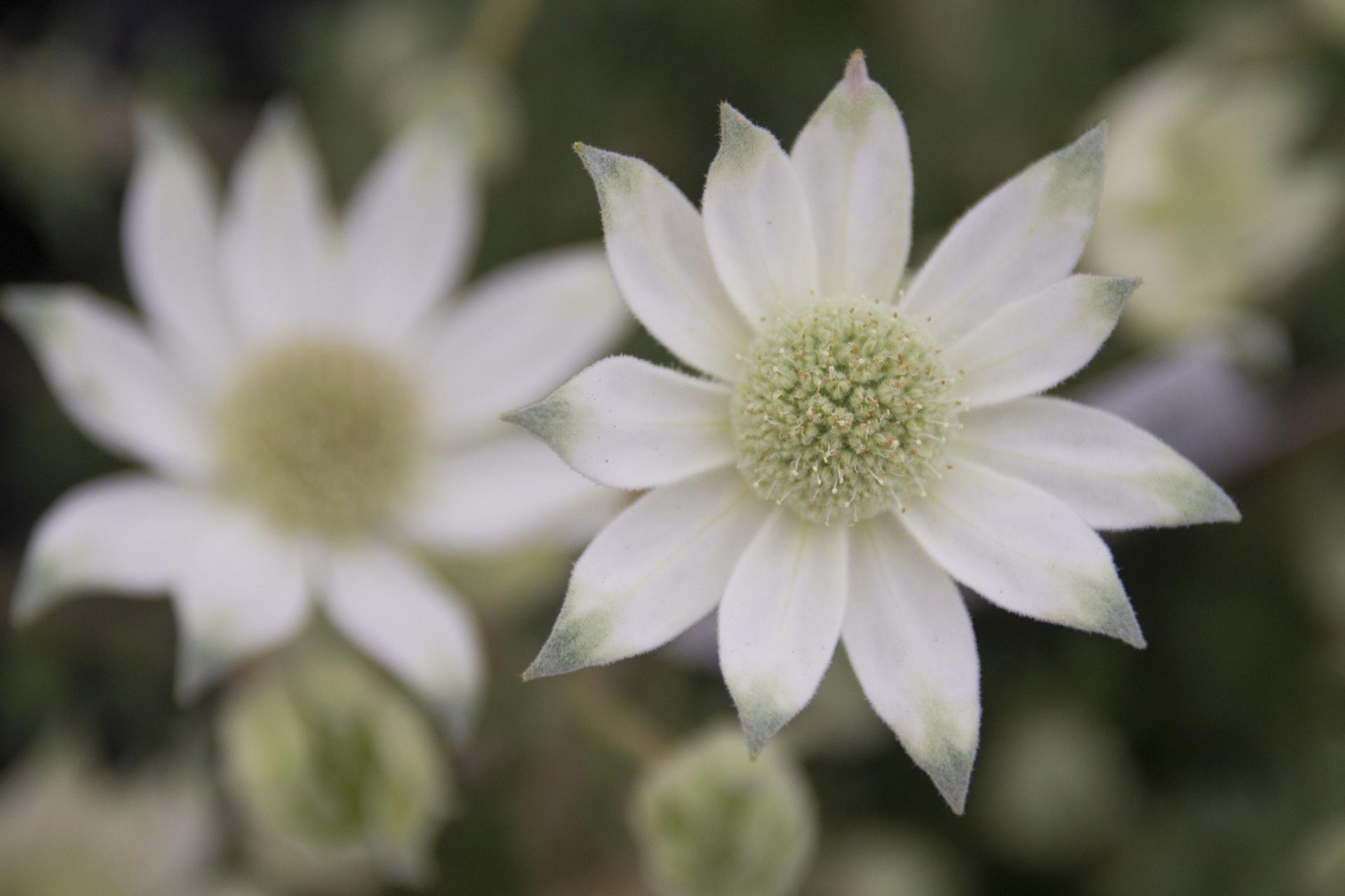 ガーデン用品屋さんの花図鑑 フランネルフラワー