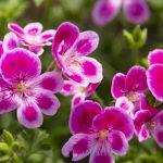 ガーデン用品屋さんの花図鑑 フウロソウ