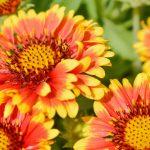 ガーデン用品屋さんの花図鑑 ガイラルディア