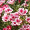 ガーデン用品屋さんの花図鑑 ゴデチア