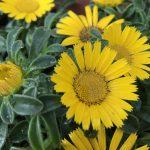 ガーデン用品屋さんの花図鑑 ゴールドコイン