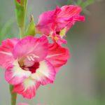 ガーデン用品屋さんの花図鑑 グオジオラス