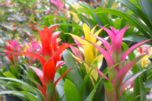 ガーデン用品屋さんの花図鑑 グズマニア