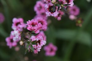 ガーデン用品屋さんの花図鑑 ギョリュウバイ