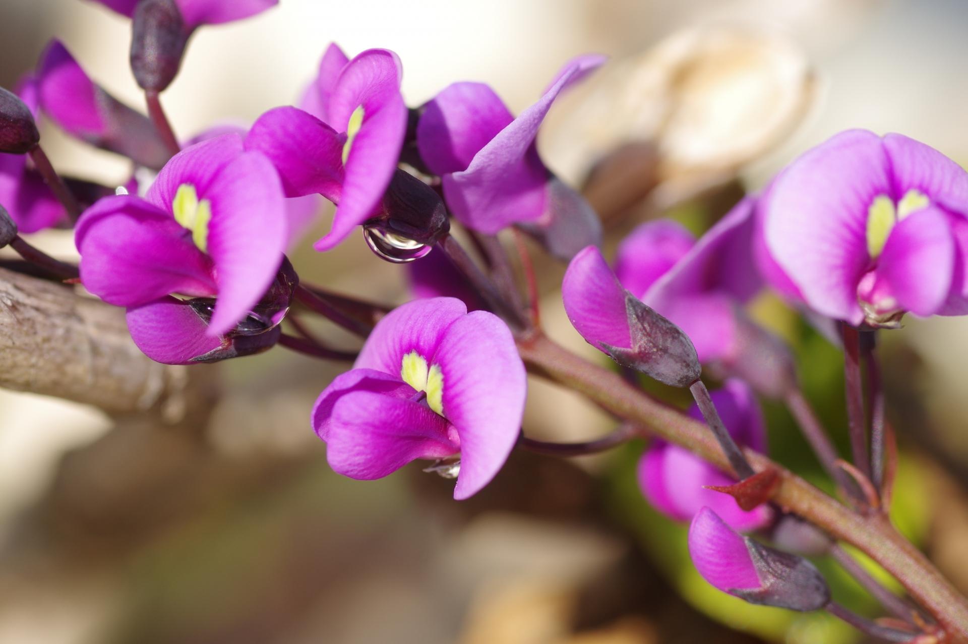 ガーデン用品屋さんの花図鑑 ハーデンベルギア