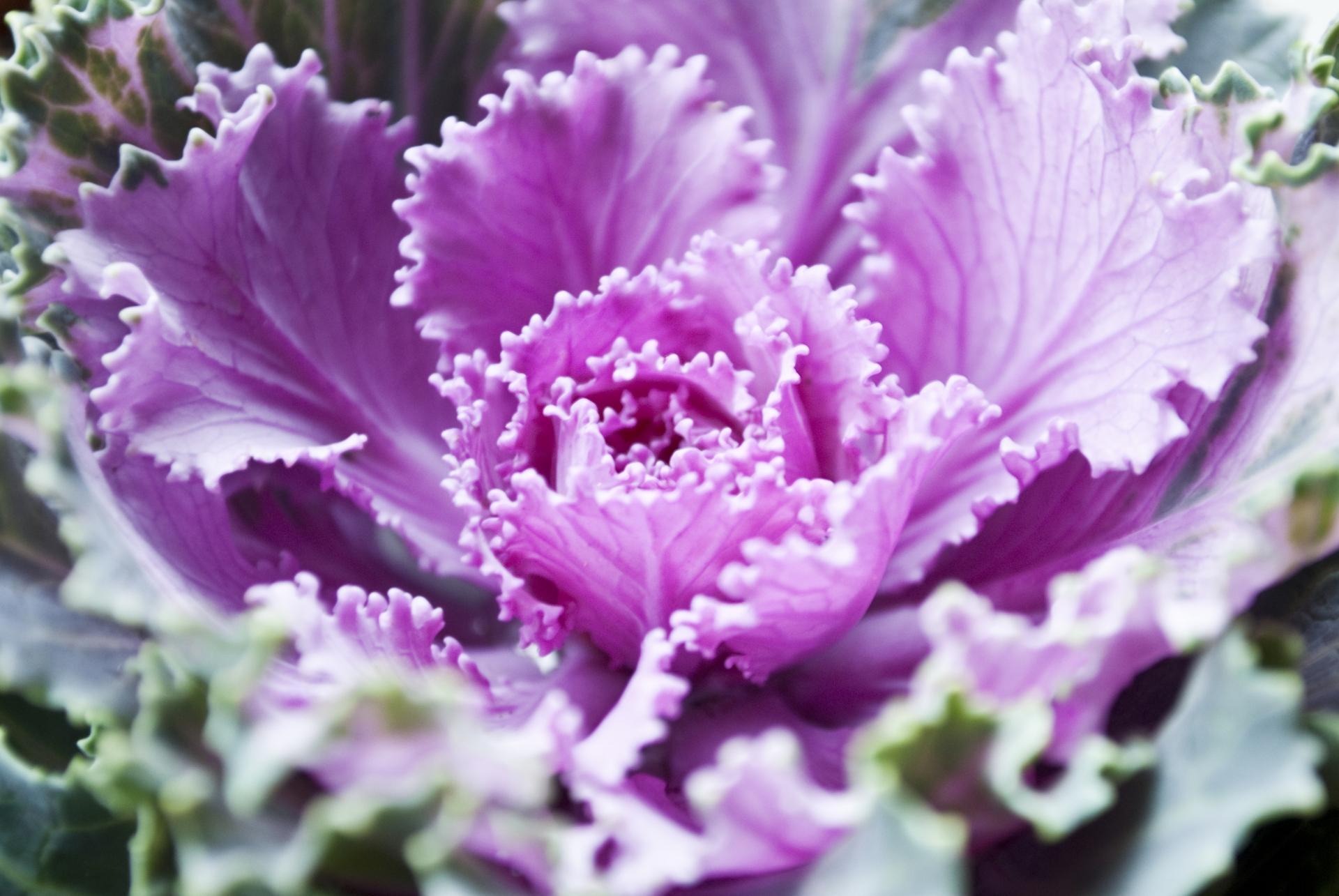 ガーデン用品屋さんの花図鑑 ハボタン
