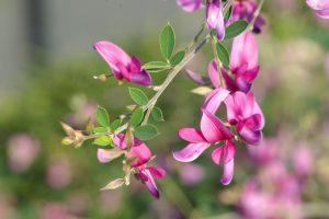 ガーデン用品屋さんの花図鑑 ハギ