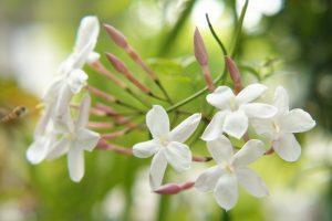 ガーデン用品屋さんの花図鑑 ハゴロモジャスミン