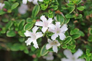 ガーデン用品屋さんの花図鑑 ハクチョウゲ