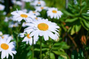 ガーデン用品屋さんの花図鑑 ハマギク