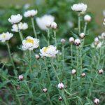 ガーデン用品屋さんの花図鑑 ハナカンザシ