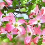 ガーデン用品屋さんの花図鑑 ハナミズキ