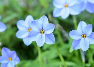 ガーデン用品屋さんの花図鑑 ハナニラ