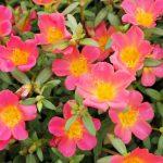 ガーデン用品屋さんの花図鑑 ハナスベリヒユ