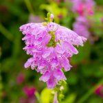 ガーデン用品屋さんの花図鑑 ハナトラノオ