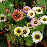 ガーデン用品屋さんの花図鑑 ハナワギク