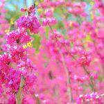 ガーデン用品屋さんの花図鑑 ハナズオウ