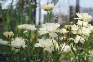 ガーデン用品屋さんの花図鑑 ヘメロカリス