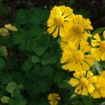 ガーデン用品屋さんの花図鑑 ヘレニウム