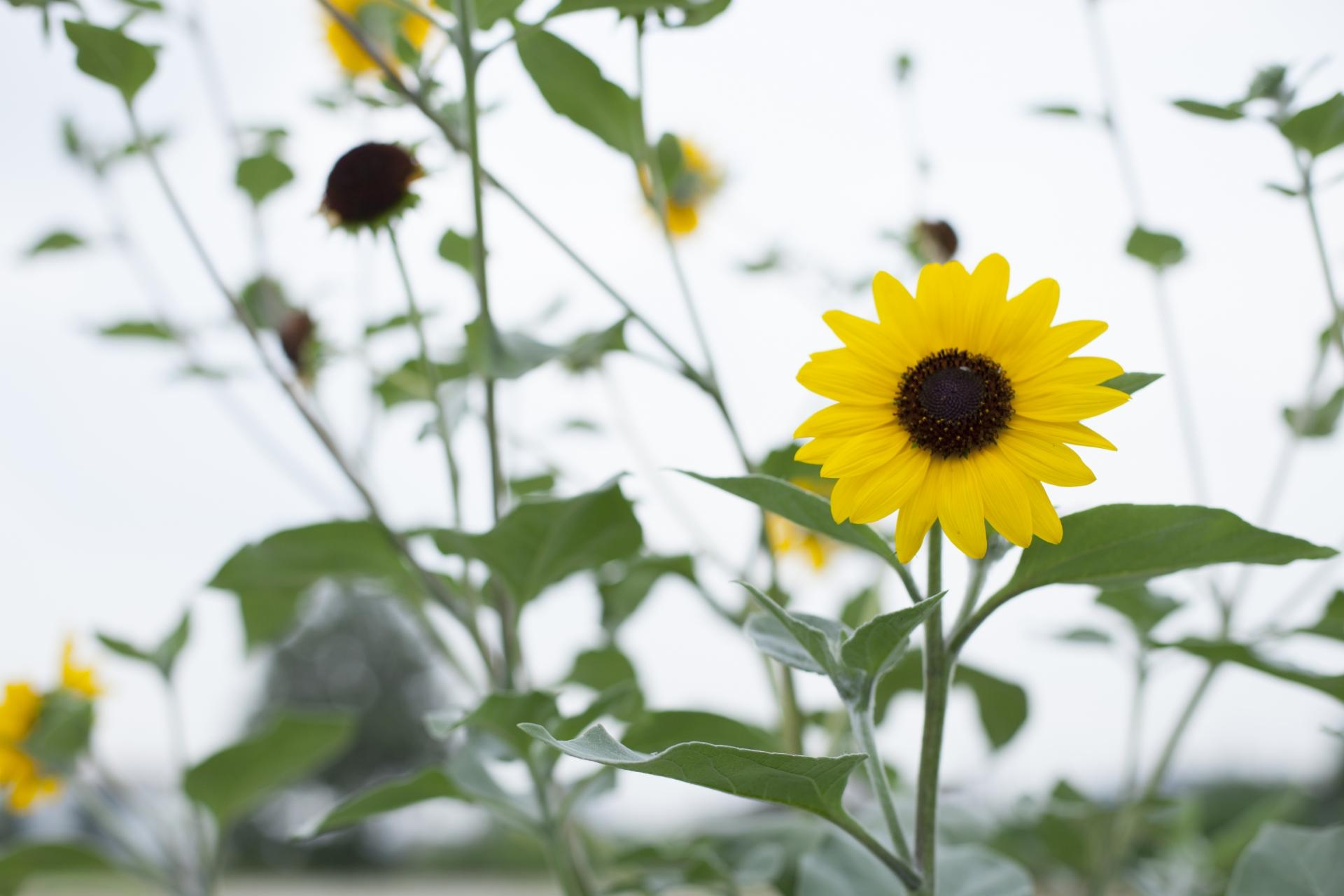 ガーデン用品屋さんの花図鑑 ヘリアンサス