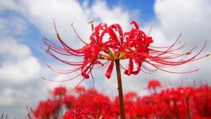 ガーデン用品屋さんの花図鑑 ヒガンバナ