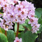 ガーデン用品屋さんの花図鑑 ヒマラヤユキノシタ