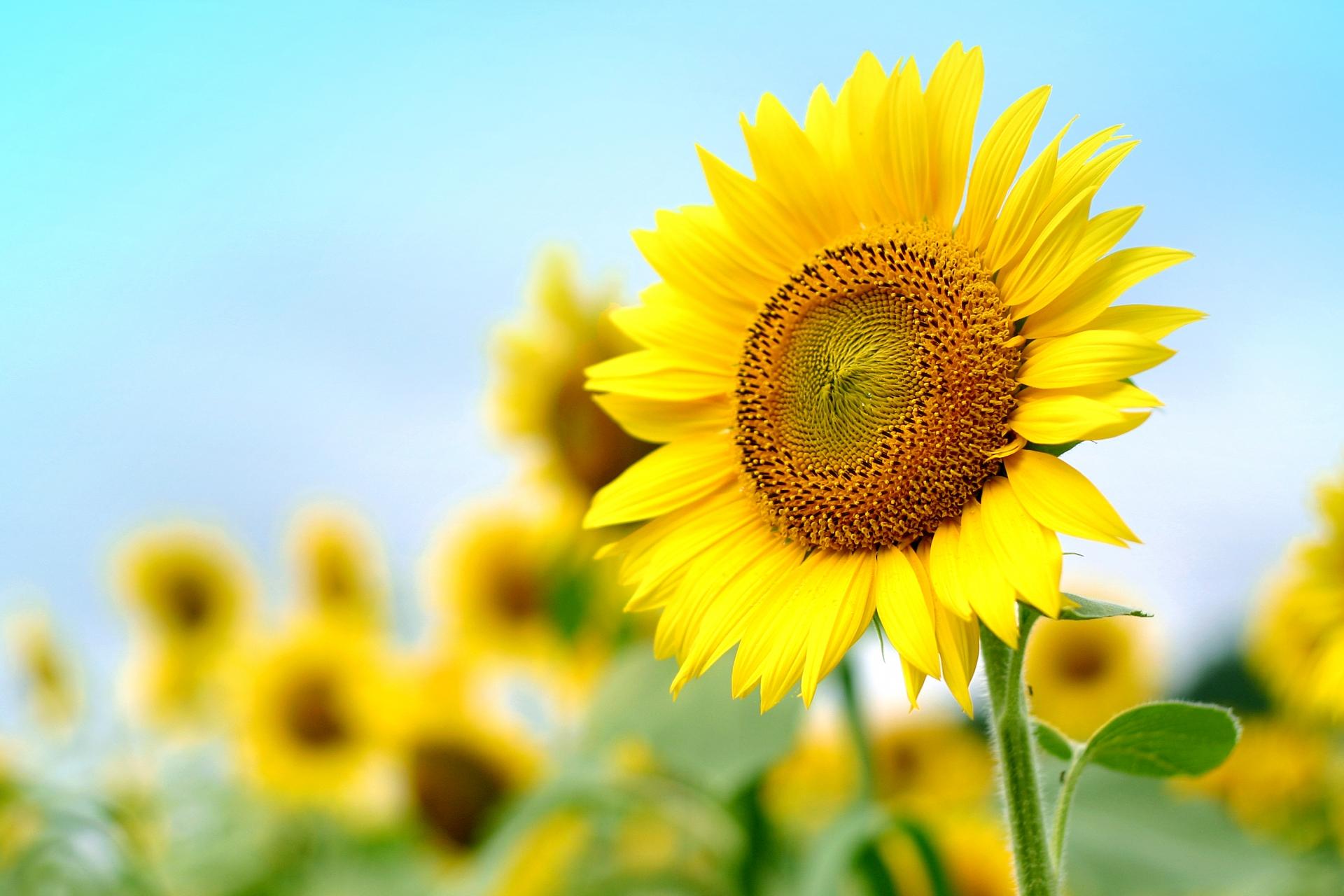 ガーデン用品屋さんの花図鑑 ヒマワリ