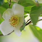 ガーデン用品屋さんの花図鑑 ヒメシャラ