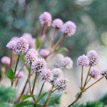 ガーデン用品屋さんの花図鑑 ヒメツルソバ