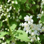 ガーデン用品屋さんの花図鑑 ヒメウツギ
