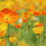 ガーデン用品屋さんの花図鑑 ヒナゲシ