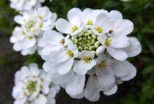 ガーデン用品屋さんの花図鑑 イベリス