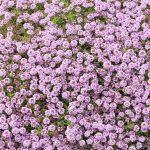 ガーデン用品屋さんの花図鑑 イブキジャコウソウ