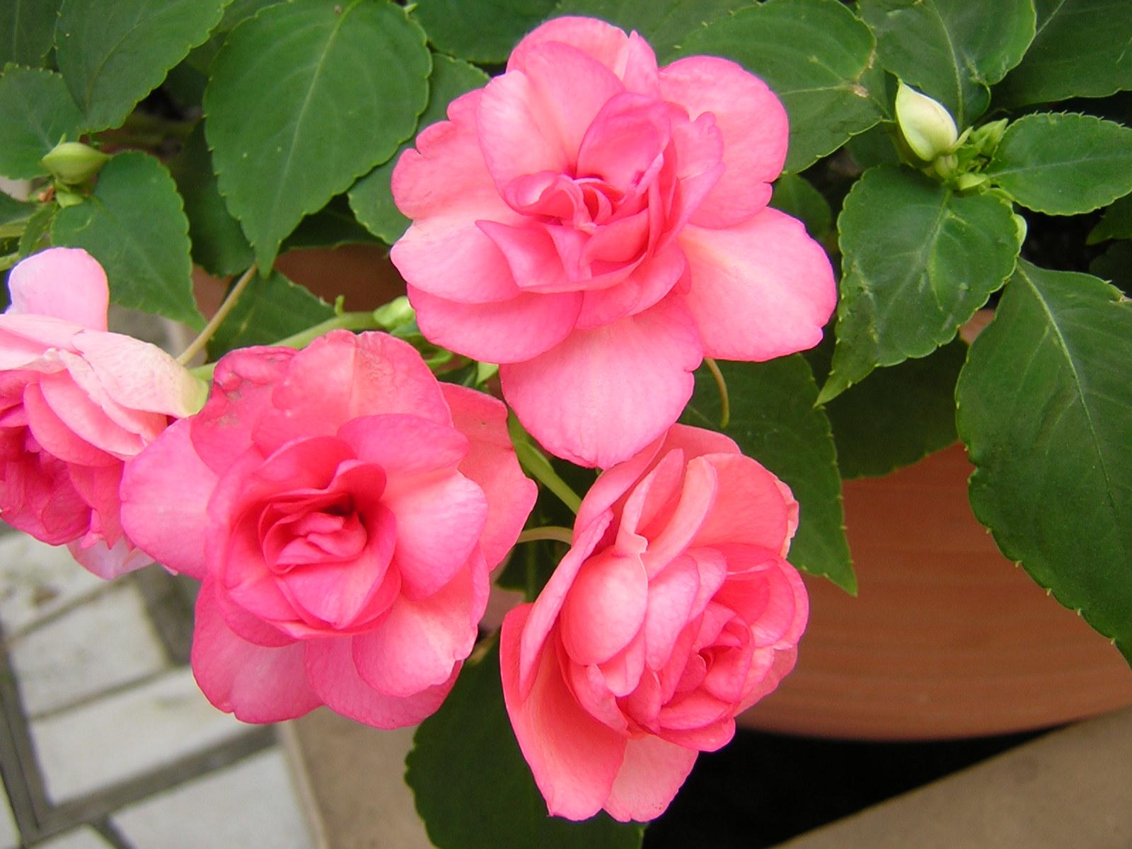 ガーデン用品屋さんの花図鑑 インパチェンス