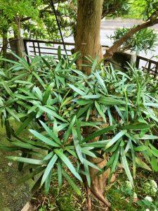 ガーデン用品屋さんの花図鑑 イヌマキ