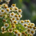 ガーデン用品屋さんの花図鑑 ジャーマンカモミール