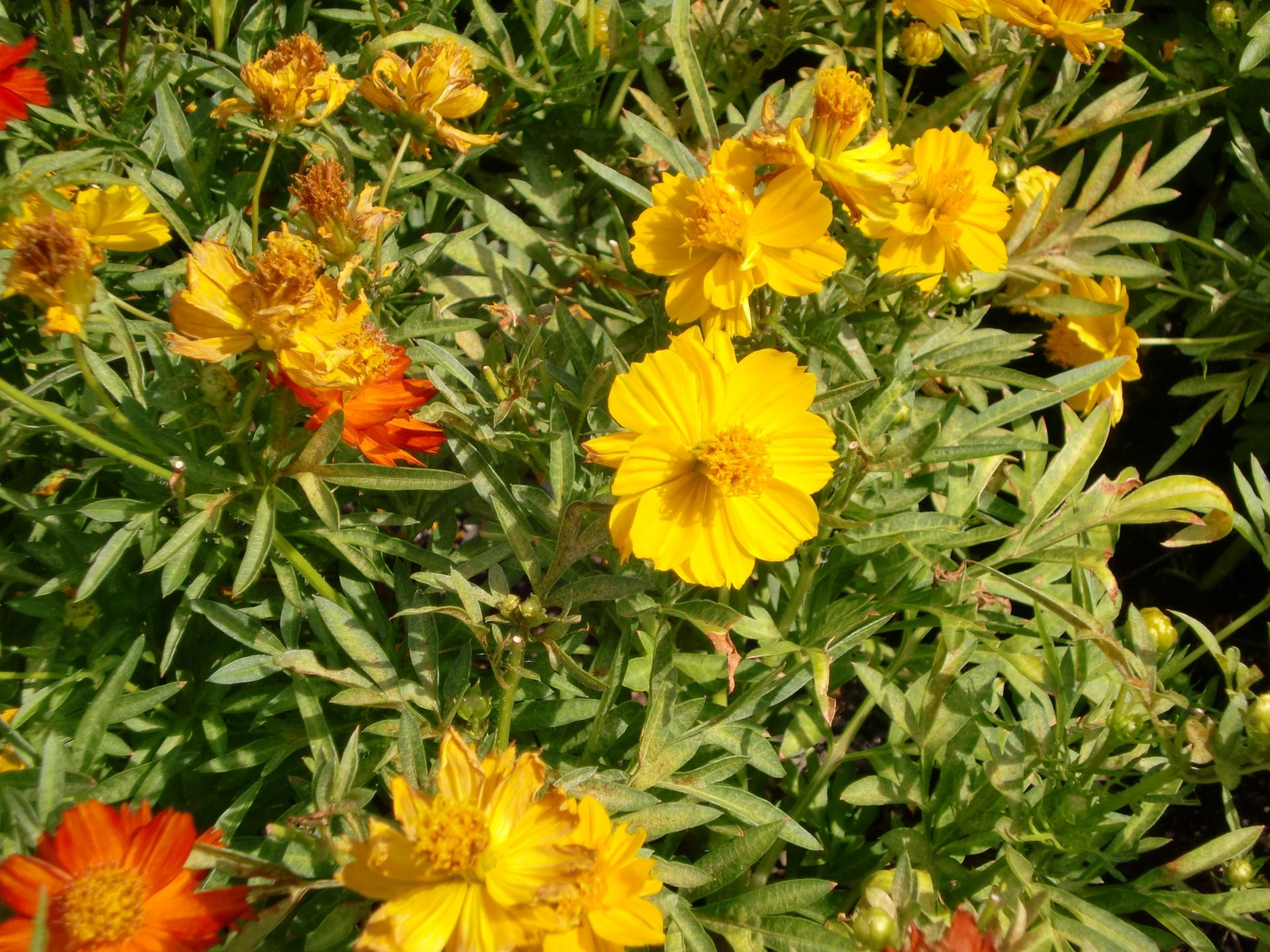 ガーデン用品屋さんの花図鑑 ジニア