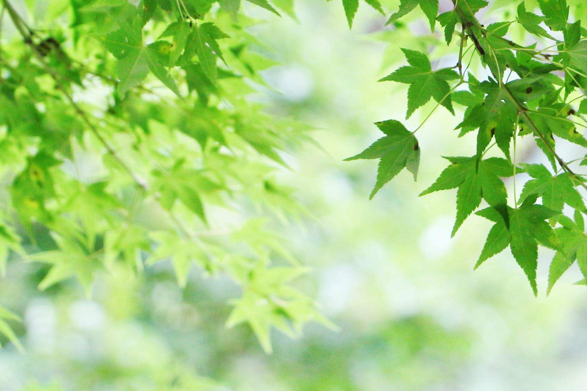 ガーデン用品屋さんの花図鑑 カエデ