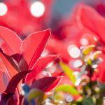 ガーデン用品屋さんの花図鑑 カナメモチ