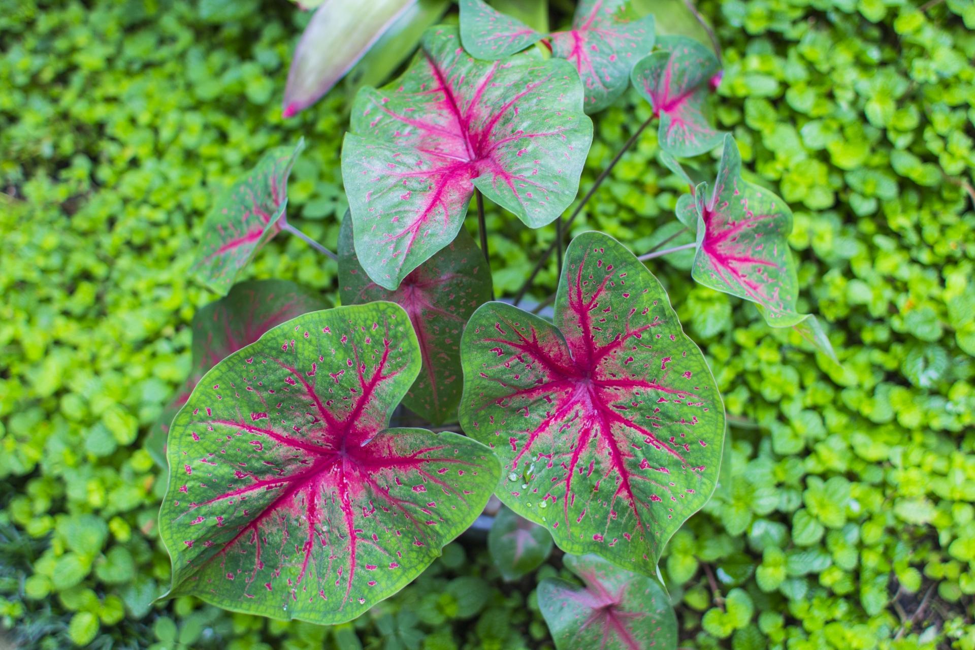 ガーデン用品屋さんの花図鑑 カラジウム