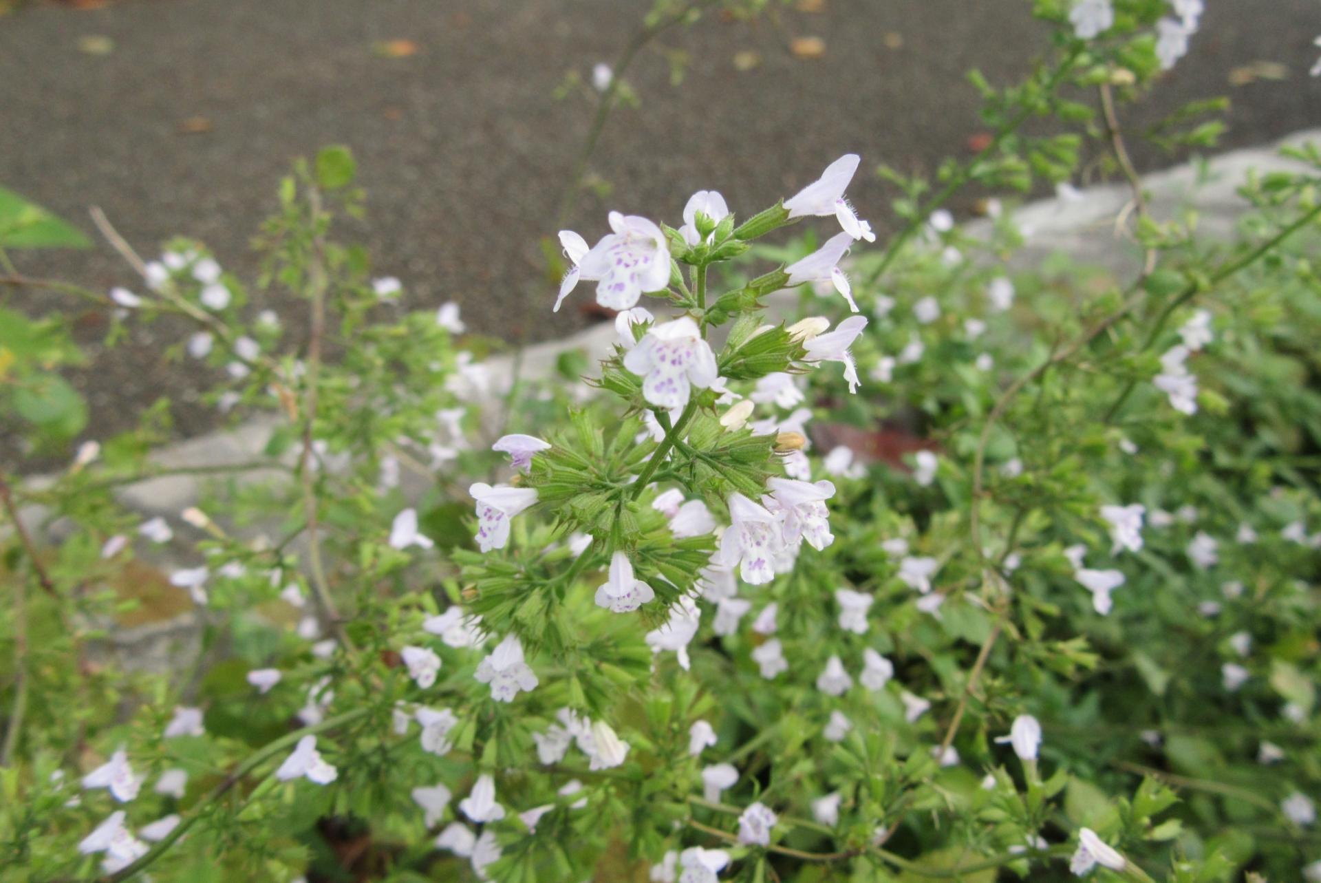 ガーデン用品屋さんの花図鑑 カラミンサ