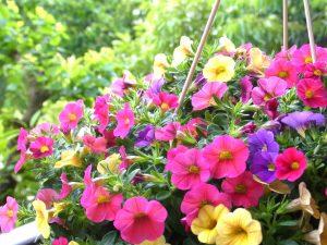 ガーデン用品屋さんの花図鑑 カリブラコア