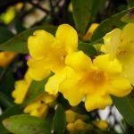 ガーデン用品屋さんの花図鑑 カロライナジャスミン