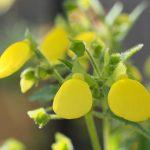 ガーデン用品屋さんの花図鑑 カルセオラリア