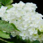 ガーデン用品屋さんの花図鑑 カシワバアジサイ