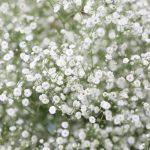 ガーデン用品屋さんの花図鑑 カスミソウ
