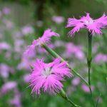 ガーデン用品屋さんの花図鑑 カワラナデシコ