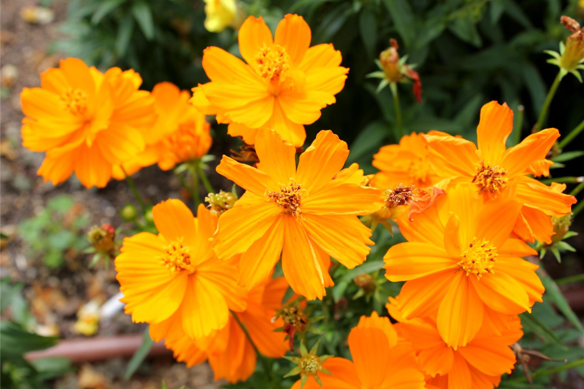 ガーデン用品屋さんの花図鑑 キバナコスモス