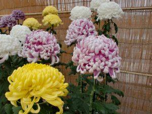 ガーデン用品屋さんの花図鑑 キク